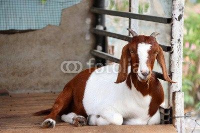 【インテリアシール】すわる山羊 ウォールステッカー