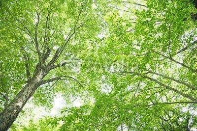 【壁紙】巨木の木漏れ日 はがせる壁紙